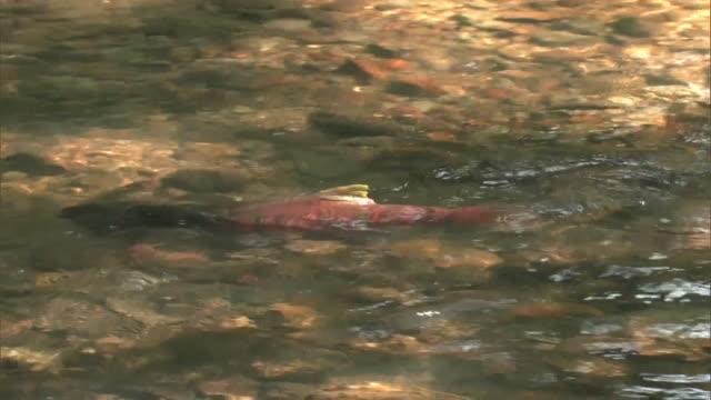 stockvideo's en b-roll-footage met several cherry salmon, oncorhynchus masou in the shojin river - rugvin