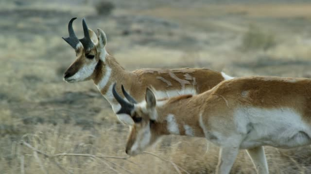 mehrere colorado pronghorn antelope bucks walk und graze outdoor zusammen - north america stock-videos und b-roll-filmmaterial