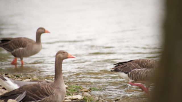 several ducks walking into water - medium group of animals stock videos & royalty-free footage