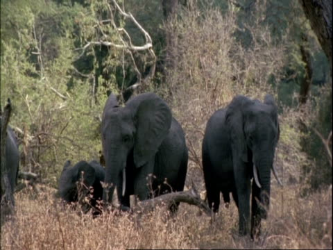 ms several elephants standing amongst trees flapping ears, mana pools, zimbabwe - 厚皮動物点の映像素材/bロール