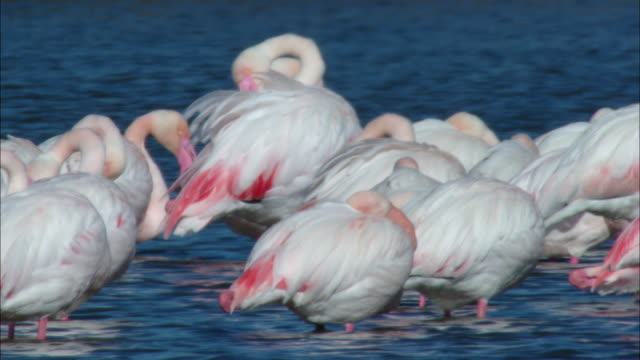 ms several flamingos preening into body / doí±ana national park , huelva & sevilla, spain - sich pflegen tierisches verhalten stock-videos und b-roll-filmmaterial