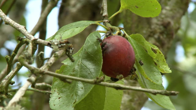 several flies crawling on a fig tree fruit - damaged stock videos & royalty-free footage