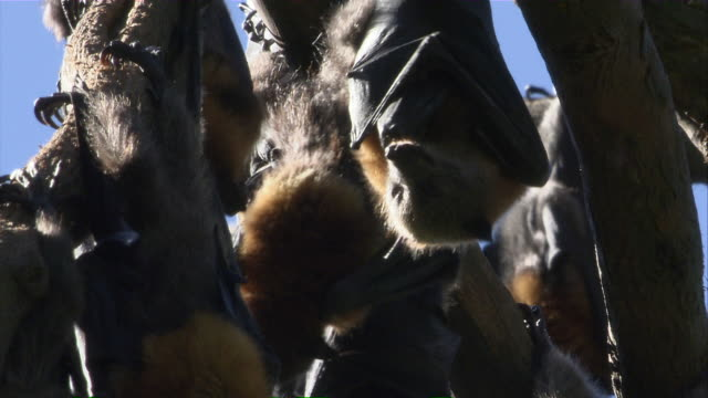 CU Several flying foxes hanging from branches / Sydney , Australia