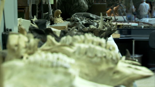 several fossils are put on display. available in hd. - archaeology stock videos & royalty-free footage