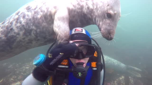 several friendly grey seals gave a human underwater visitor a thorough inspection during an encounter off the coast of farne islands in... - undersea stock videos & royalty-free footage