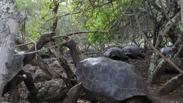 several galã¡pagos giant tortoises moving slowly over muddy ground, two of them facing each other, san cristã³bal, galã¡pagos - galapagosinseln stock-videos und b-roll-filmmaterial