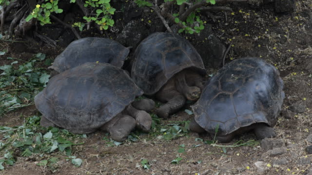 Several Galápagos tortoises sitting under green bushes eating leaves, Santa Cruz, Galápagos, Ecuador