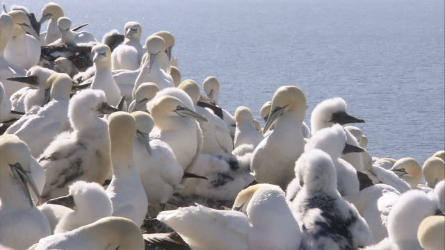 ms several  gannets nesting on rock / bass rock, firth of forth, scotland - firth of forth stock videos & royalty-free footage