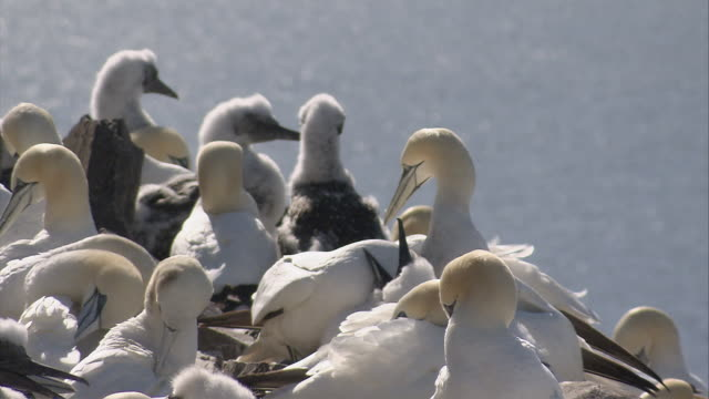 ms several  gannets nesting on rock / bass rock, firth of forth, scotland - scotland stock videos & royalty-free footage