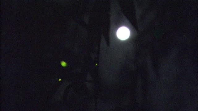 vídeos de stock e filmes b-roll de several glowing luciola cruciata in woods with full moon in background, aichi, japan - pirilampo escaravelho