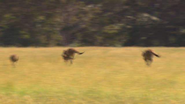 vidéos et rushes de several kangaroos grazing in a grass/wheat field, a group of kangaroos hop up and join the existing groups - kangourou