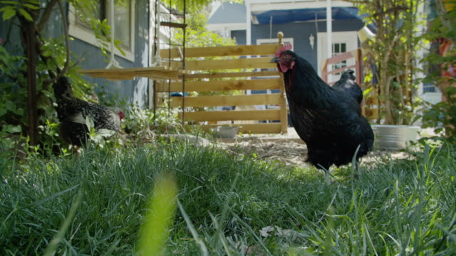 several large hens (chickens) walk around a grassy residential backyard looking for food in springtime on a sunny day - tapping stock videos & royalty-free footage