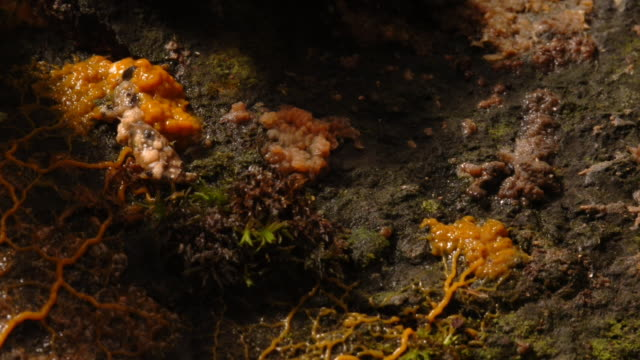 vídeos y material grabado en eventos de stock de several patches of slime mould pulsate and spread on moss-covered ground. available in hd. - animal microscópico