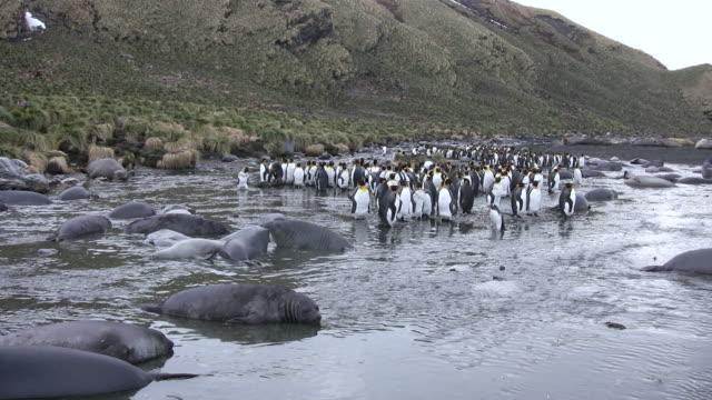 ms several penguins and seals on rocky beach  audio - 多数の動物点の映像素材/bロール