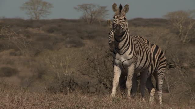 MS Several plains zebras standing close together walking in grassland scrubland trees BG