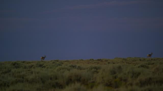 夕暮れ時の遠くからグラッシーヒルの尾根に沿っていくつかのプロングホーンアンテロープラン - プロングホーン点の映像素材/bロール