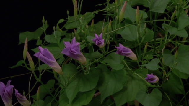 Several purple morning glory flowers blossoming on branch Available in HD.