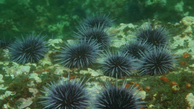 several purple sea urchins crawl over a rocky surface. available in hd. - ricci di mare video stock e b–roll
