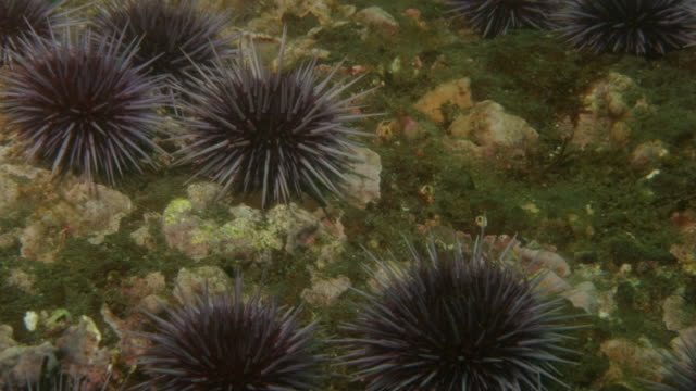 several purple sea urchins crawl over a rocky surface. available in hd. - ウニ点の映像素材/bロール