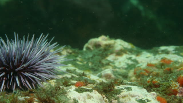 several purple sea urchins crawl over a sea bed. available in hd. - sea urchin stock videos and b-roll footage