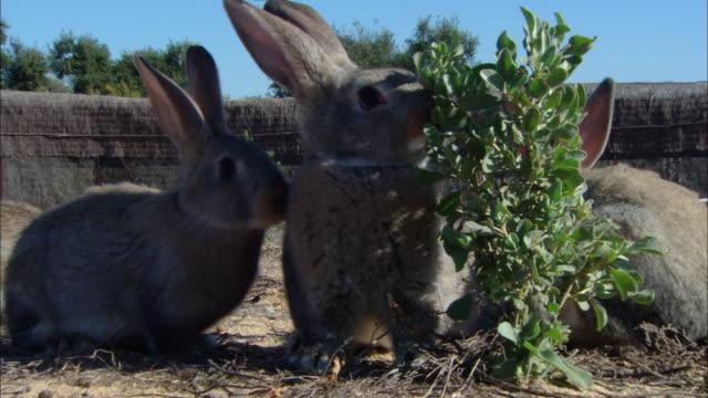 ms cu zo several rabbits in  dry field  / doí±ana national park , huelva & sevilla, spain - 2007年点の映像素材/bロール