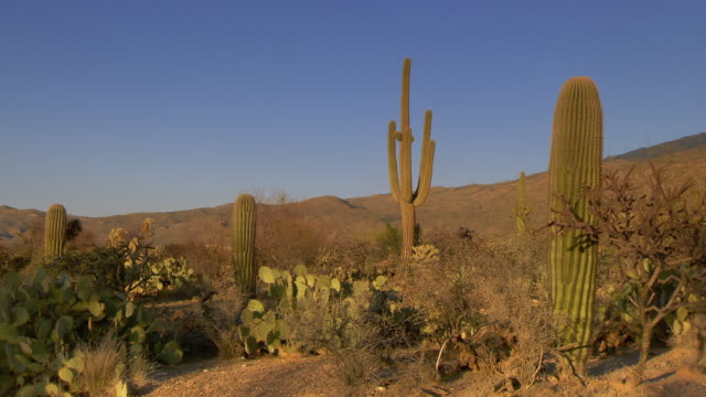 Several Saguaro cactus plants in desert with blue skies