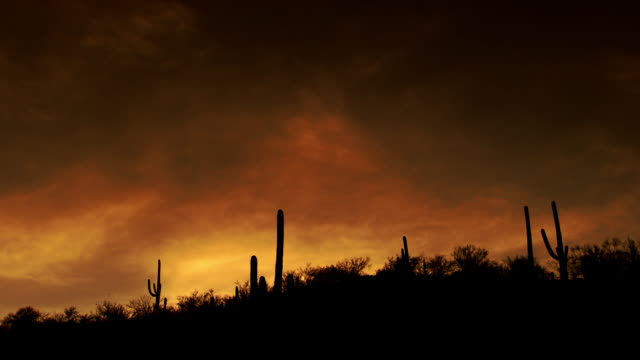 Several saguaro cactus trees silhouetted against dramatic sunset clouds