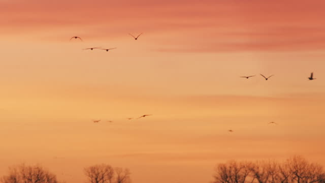 several sandhill cranes fly through the evening sky as they prepare for landing on the platte river. - stormo di uccelli video stock e b–roll