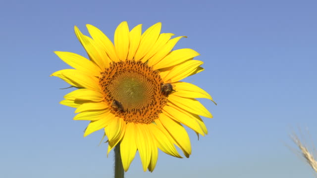 several shots of a sunflower in the sun with bee bumblebee and wasps on it - yellow stock videos & royalty-free footage