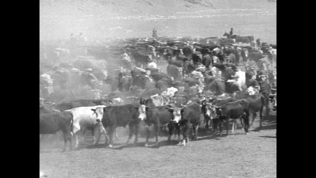 several shots of cowboys on horseback and a large herd of cattle / note: exact year not known - cattle drive stock videos & royalty-free footage