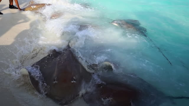 several sting rays move and roll in shore waves - vabbinfaru, maldives - 数匹の動物点の映像素材/bロール