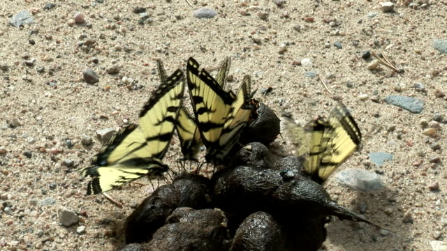 Several swallowtail butterflies feast on dung. Available in HD.