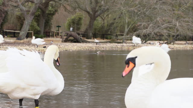 ms several swans swimming in small pond / abbotsbury, england, united kingdom - wiese stock videos & royalty-free footage