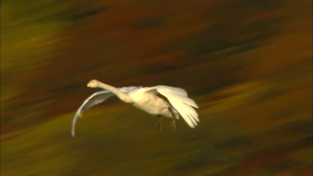 several tundra swans (cygnus columbianus) landing on oyama shimo-ike pond - yamagata prefecture stock videos & royalty-free footage