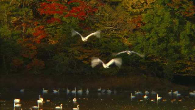 several tundra swans (cygnus columbianus) taking flight from the surface of oyama shimo-ike pond - water bird stock videos & royalty-free footage