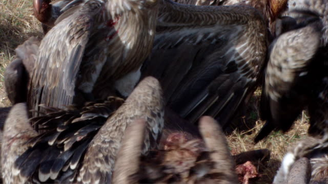 ms tu zo  zi several vultures at bloody carcass / kenya  - vulture stock videos & royalty-free footage