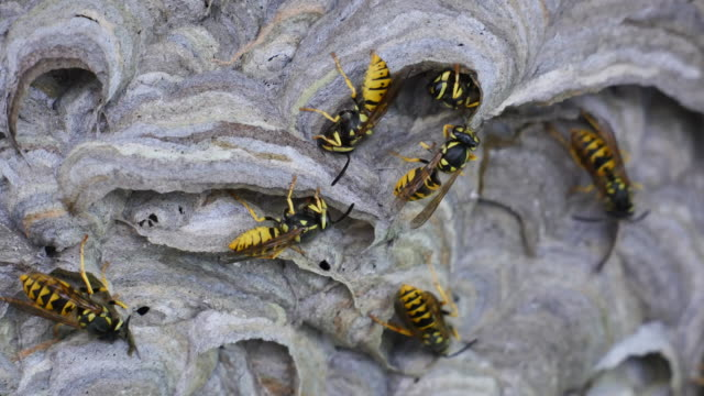 Several wasps nest building close