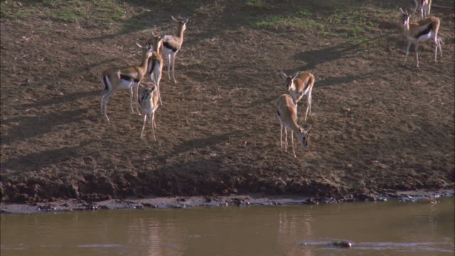 vídeos de stock e filmes b-roll de several watchful thompson's gazelles stand at the edge of the water looking around in serengeti national park. - water's edge