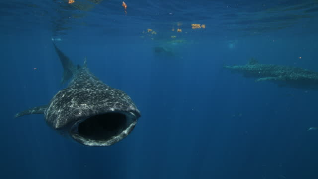 several whale sharks feeding and swimming at the surface of the water - walhai stock-videos und b-roll-filmmaterial