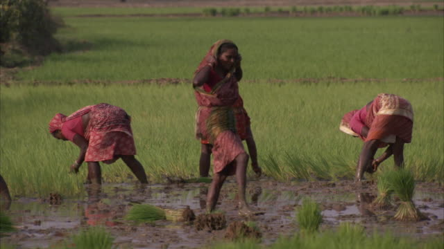 stockvideo's en b-roll-footage met several women smile and laugh as they walk away from a rice paddy after planting stalks of rice. available in hd. - cereal plant