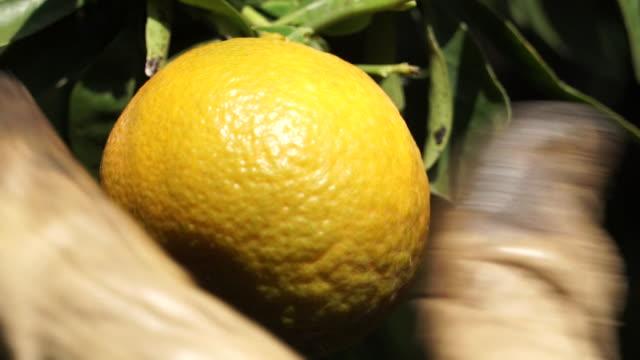 vídeos y material grabado en eventos de stock de seville orange cut from branch - huerta