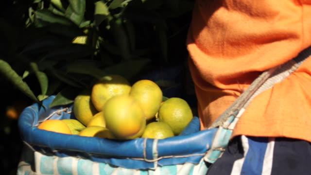 seville oranges harvested - オレンジ果樹園点の映像素材/bロール