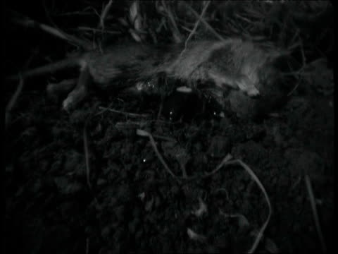 sexton beetle goes about burying dead mouse - dead animal stock videos & royalty-free footage