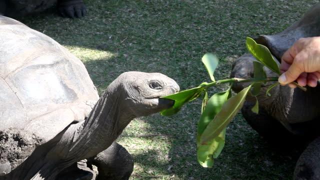 vídeos de stock, filmes e b-roll de seychelles, curieuse island, green sea turtle eating - grupo pequeno de animais