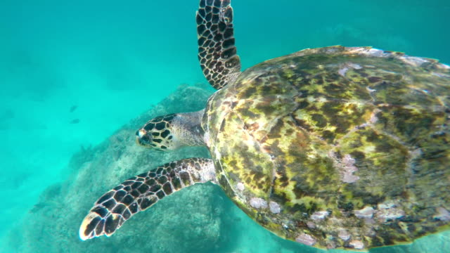 seychelles- hawksbill sea turtle (eretmochelys imbricata) 4 - seychelles stock videos & royalty-free footage