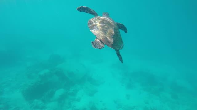 seychelles- hawksbill sea turtle (eretmochelys imbricata) 5 - hawksbill turtle stock videos & royalty-free footage