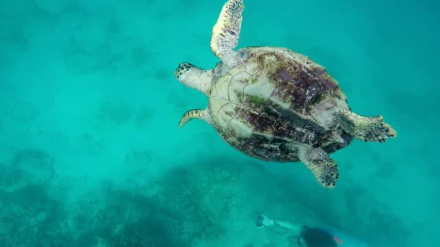 stockvideo's en b-roll-footage met seychelles- hawksbill sea turtle (eretmochelys imbricata) 8 - vachtpatroon