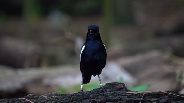 seychelles magpie-robin - eyal bartov stock videos and b-roll footage
