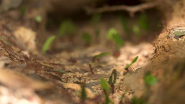 sf_leaf cutter ants 2_macro 4k.mov - rio delle amazzoni video stock e b–roll