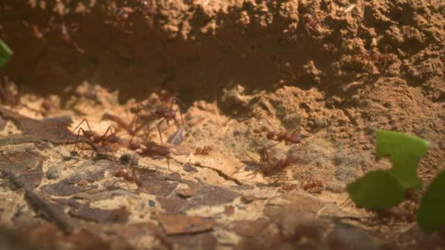 vídeos de stock, filmes e b-roll de sf_leaf cutter ants 3_macro 4k.mov - tambopata